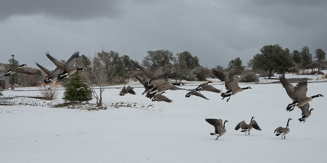 Geese in Flight over Snow