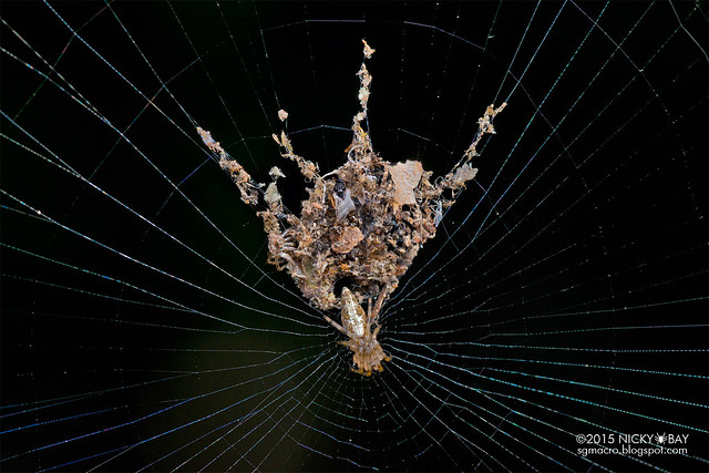 Trashline orb web spider (Cyclosa sp.) - DSC_7774