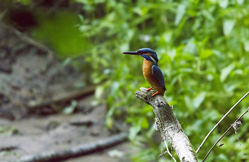 lithuania lietuva commonkingfisher alcedoatthis eurasiankingfisher tulžys šilalė pailgotis