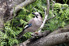 sparrow(0.0), blue jay(0.0), animal(1.0), branch(1.0), nature(1.0), fauna(1.0), jay(1.0), beak(1.0), bird(1.0), wildlife(1.0),