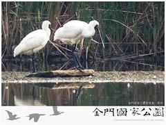 黑面琵鷺(陵水湖2014)
