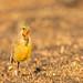 Cape longclaw or orange-throated longclaw (Macronyx capensis)