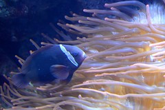 deep sea fish(0.0), coral reef(1.0), animal(1.0), anemone fish(1.0), coral(1.0), fish(1.0), fish(1.0), coral reef fish(1.0), organism(1.0), marine biology(1.0), underwater(1.0), reef(1.0), blue(1.0), pomacanthidae(1.0), sea anemone(1.0),