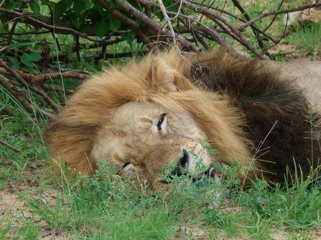 León macho en el parque Kruger de Sudáfrica