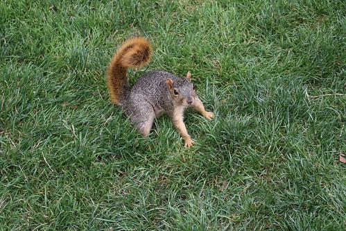 Squirrel, Detroit