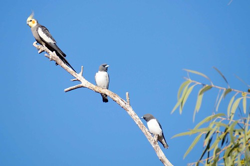 Cockatiel & White-breasted Woodswallow