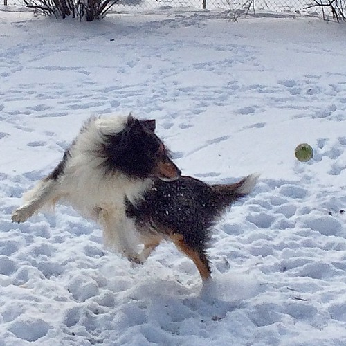 Tennis ball acrobatics #jasper #Sheltie