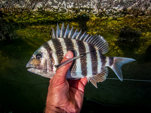 Sheepshead Galor