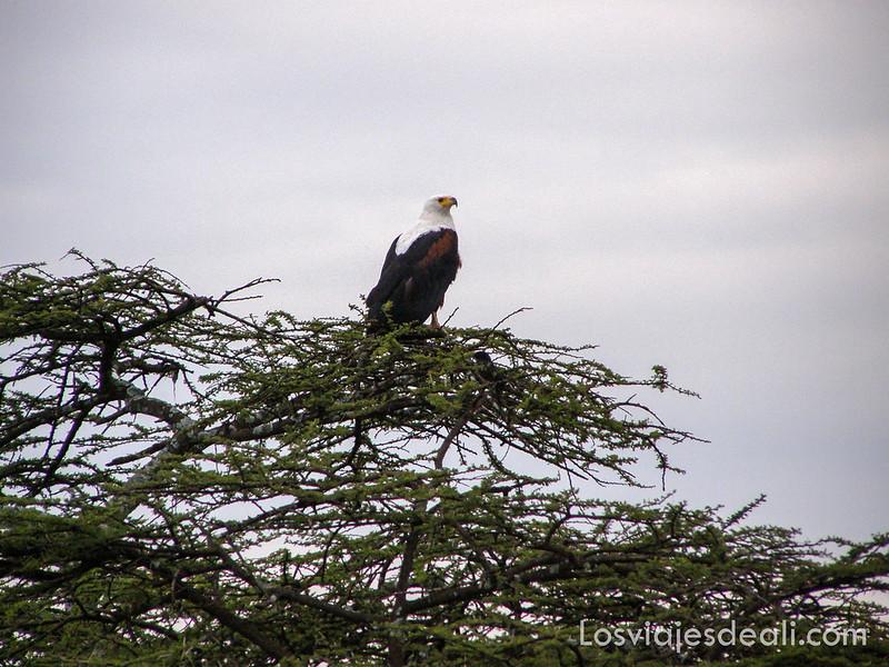 lagos de etiopia águila africana
