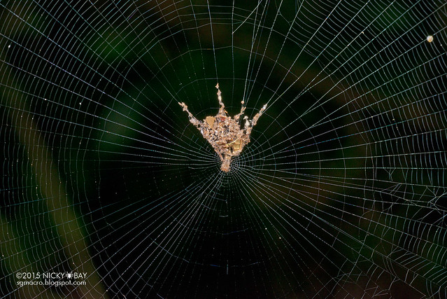 Trashline orb web spider (Cyclosa sp.) - DSC_7762