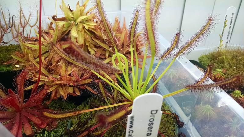 Drosera capensis typical.