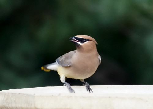 Waxwing at the birdbath
