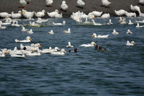 雲林沿海養鴨場內,可見紅頭潛鴨身影。(攝影:張俊章)
