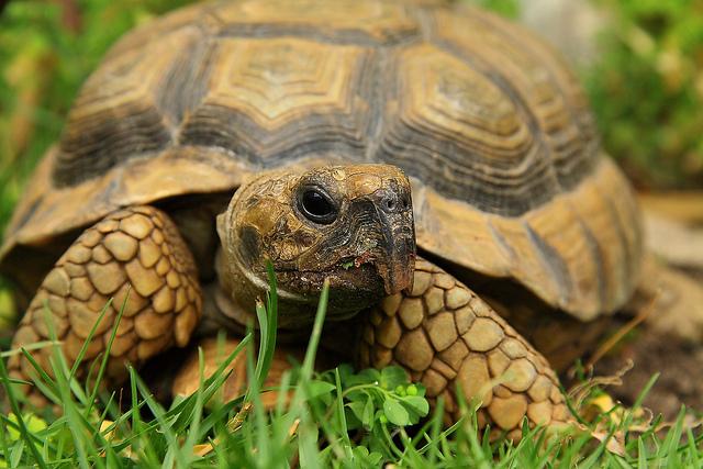 Tortugas domesticas