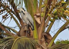 Ardea melanocephala - Black-headed Heron - Héron à tête noire ou Héron mélanocéphale - 21/02/10