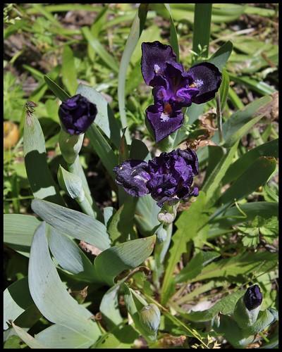 Iris nain 'Naos' (1)