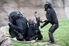 Bonobos Playing Pattycake
