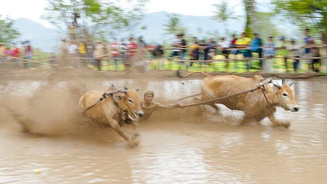 Pacu Jawi - Bull Race