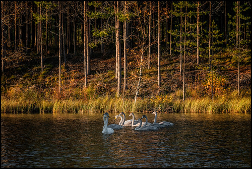 swan svan swans svanar lake sjö vatten water skog forest höst autumn fall sunshine solsken evening kväll gräs grass birds fåglar