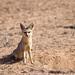 Cape Fox (John Davies)