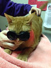 Foster cat Dean sporting steampunk goggles while undergoing laser therapy at the vet earlier this week for a swollen chin and gums.