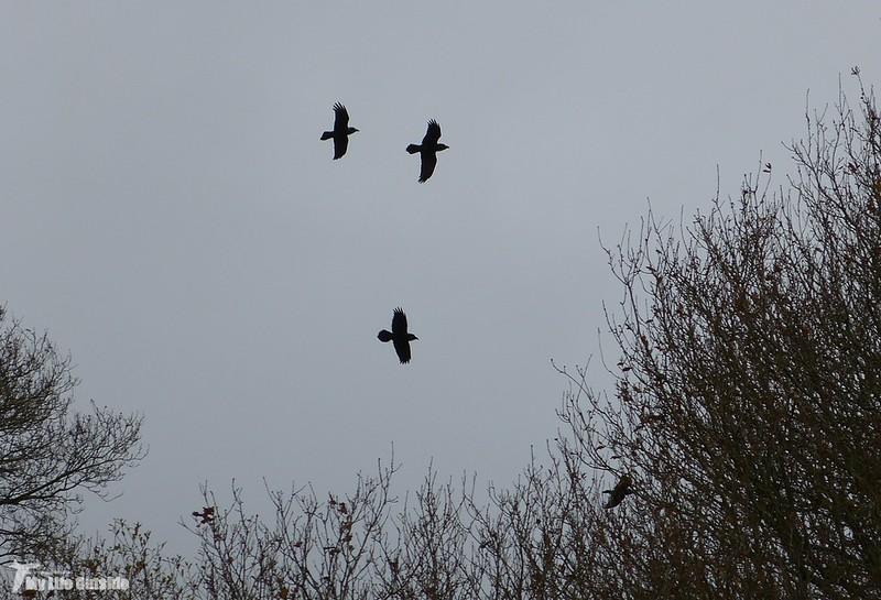 P1100498 - Local Ravens