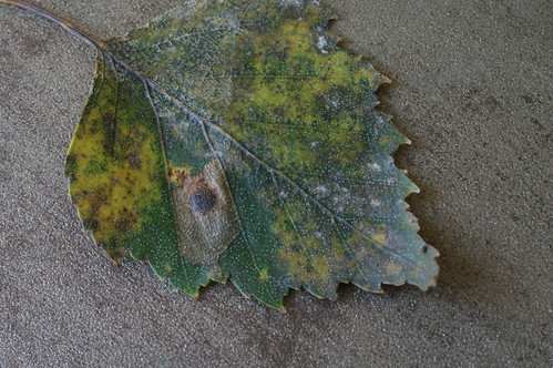 Ectoedemia occultella leaf mine on Birch
