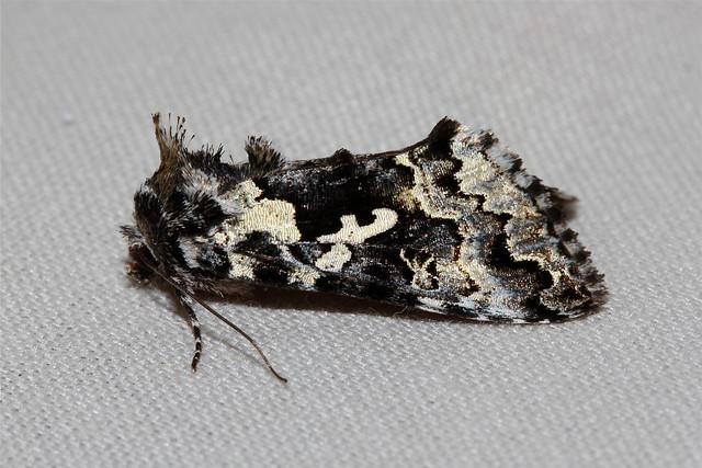 Syngrapha rectangula (Salt-and-pepper Looper Moth) Hodges # 8942