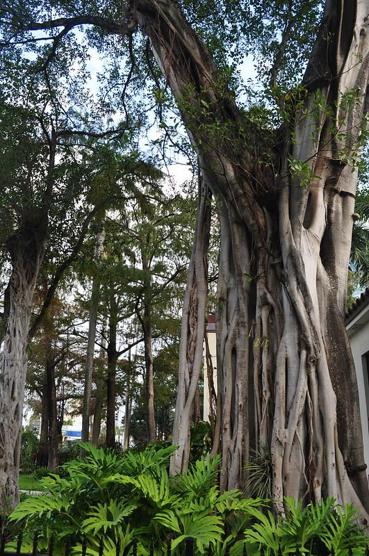 Strangler Fig (Ficus)