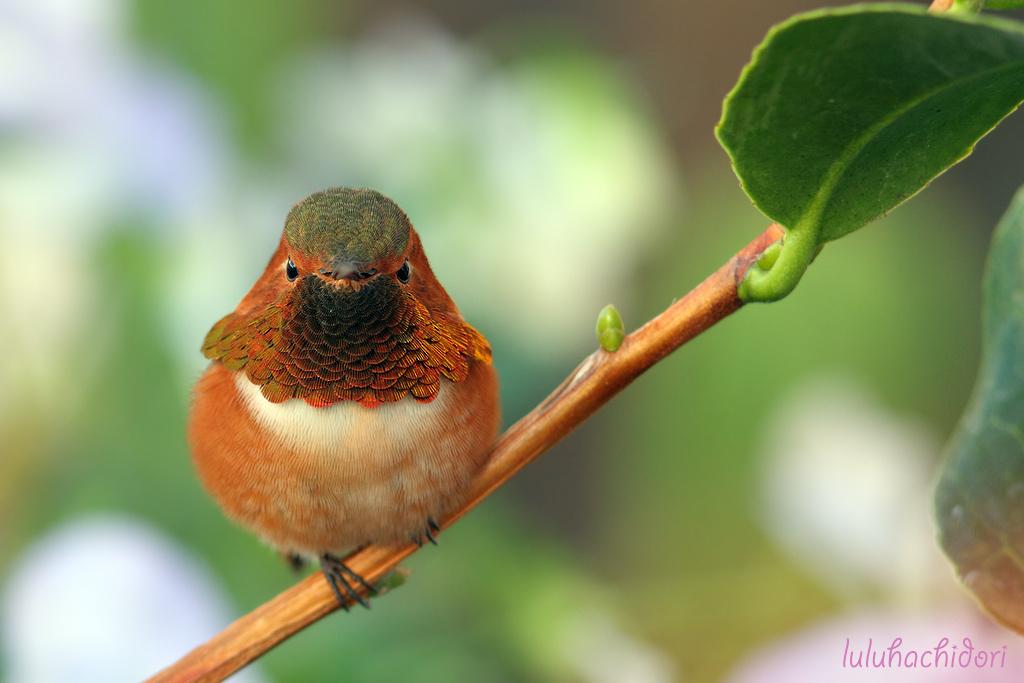 Allen's Hummingbird-112314