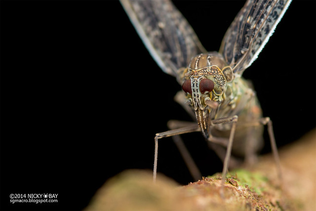 Derbid planthopper (Derbidae) - DSC_2784