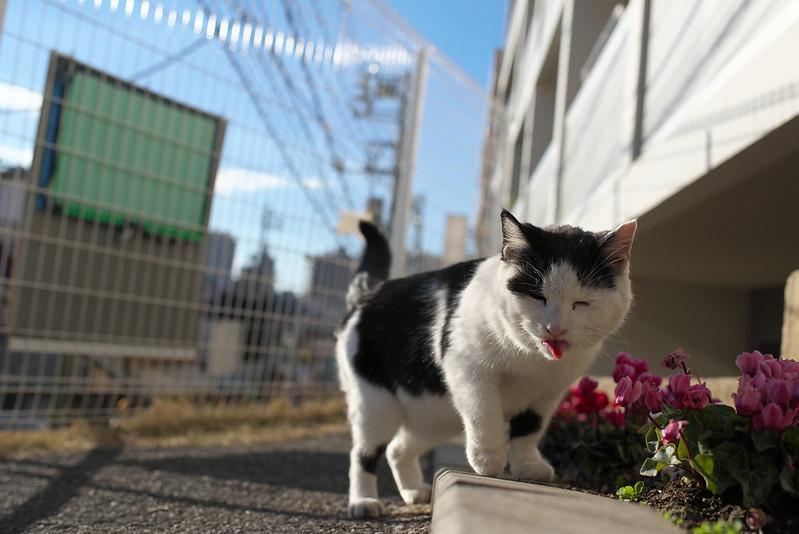 東京路地裏散歩 夕やけだんだんのネコ 2015年1月7日