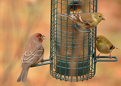 animal, sparrow, fauna, house finch, bird,