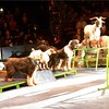 Doggies and a billy goat share the stage under the big top! # bigapplecircus