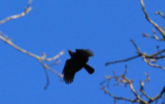 Corvid(carrion crow)