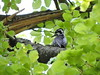 Picoides tridactylus- Three-toed Woodpecker