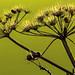 Hogweed & hawthorn berries. by AlbOst