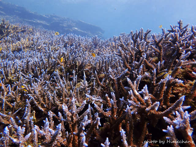 やっぱサンゴは八重山がキレイだ!!!