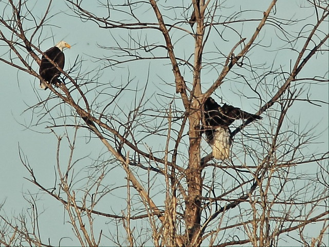 Bald Eagles in tree 02-20141210