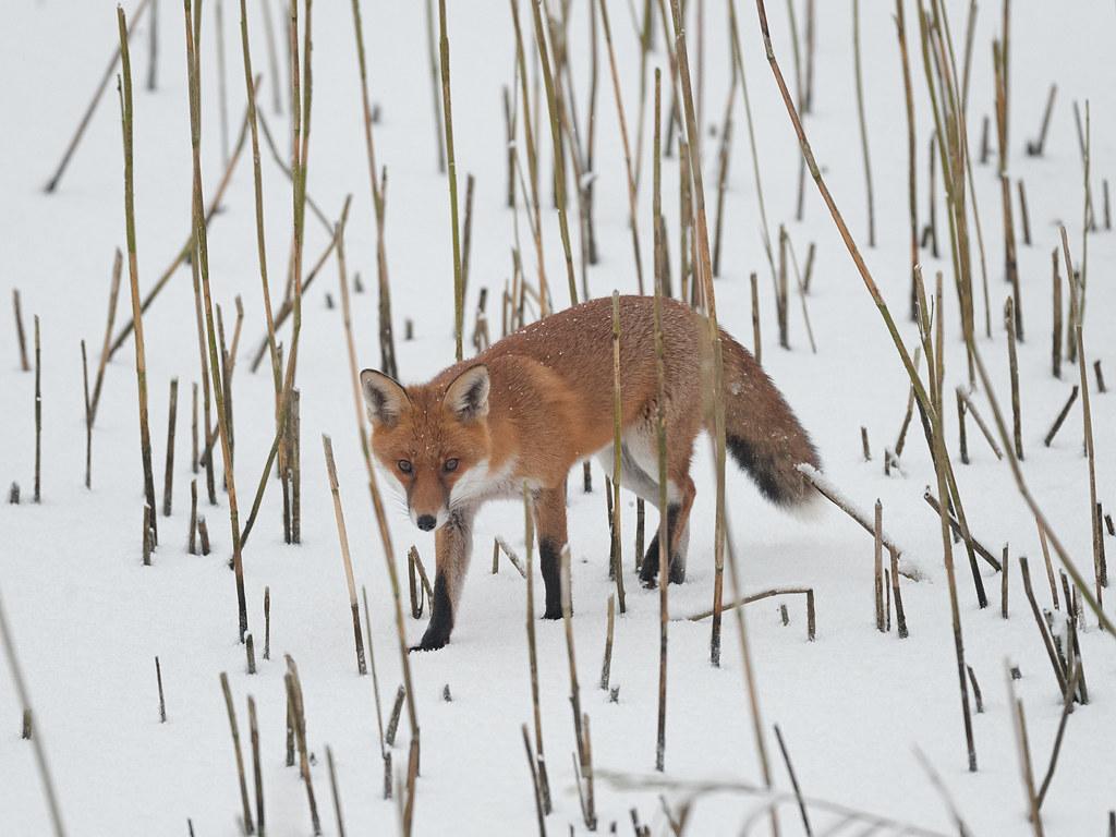 Winter fox on frozen lake_2010