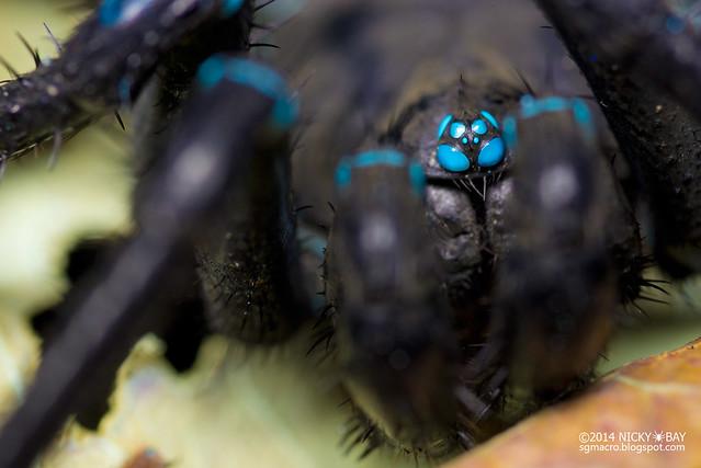 Segmented trapdoor spider (Liphistius sp.) - ESC_0132