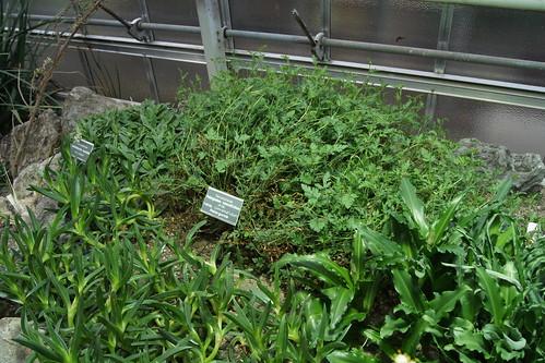 P. caucalifolium subsp. convolvulifolium