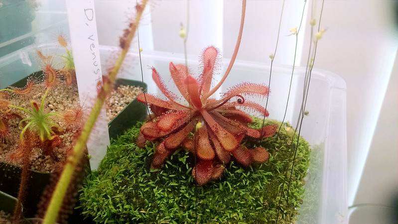 Drosera venusta with flower stalk.