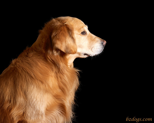Profile of a Golden Retriever