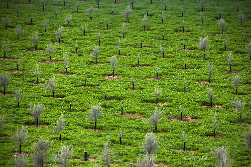 Olivos jóvenes sobre una mullida alfombra verde