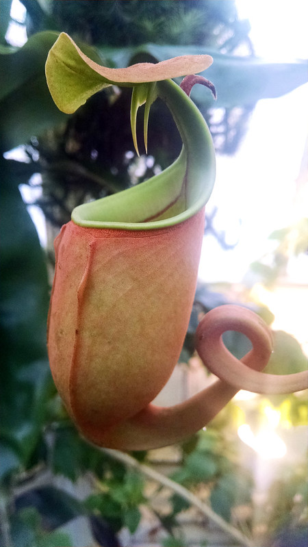 Nepenthes bicalcarata at the Conservatory of Flowers.