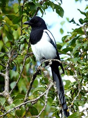 Pie bavarde - Eurasian Magpie