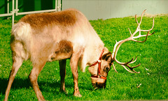 cattle(0.0), cattle-like mammal(1.0), animal(1.0), deer(1.0), grass(1.0), nature(1.0), grazing(1.0), fauna(1.0), white-tailed deer(1.0), elk(1.0), meadow(1.0), pasture(1.0), grassland(1.0), wildlife(1.0), reindeer(1.0),