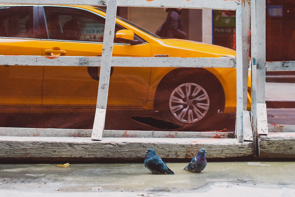 Pigeons, New York City