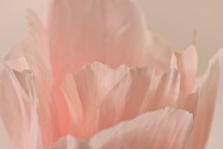 Peach Godetia Flower Petals - Macro28-4LL